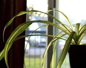 spider plant improves indoor air qualtiy